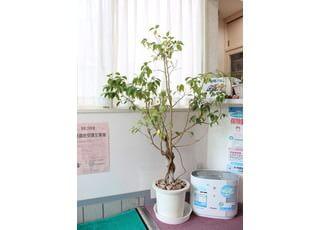 玄関にも観葉植物を置いております。