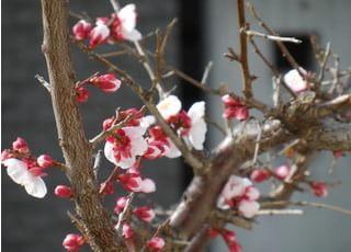 三月には窓の外に梅の花が咲きます。