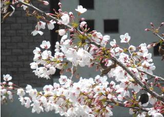 4月初旬には窓の外の桜が満開になります。