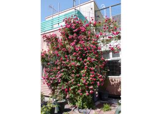 当院自慢のバラの花です。